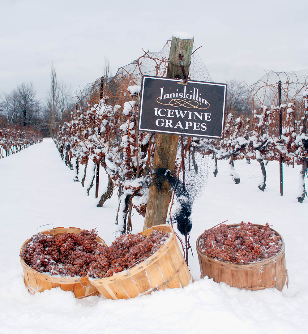 Icewine-Vineyard-hi-res