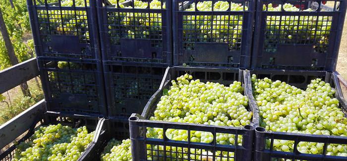 Matalj vinarija je pocela sa berbom 2016.